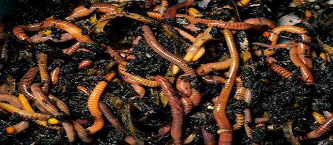 члены растягивают к чему снятся червяки в своем теле жена