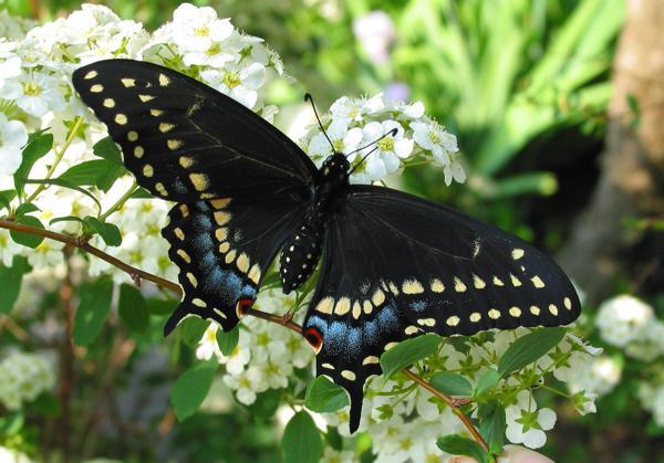 к чему снится бабочка черная